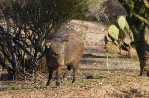 javelina and prickly pear